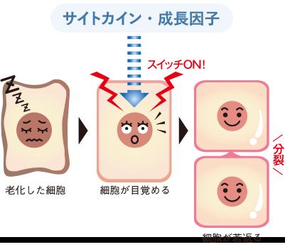 ヒト骨髄幹細胞に含まれる「サイトカイン・成長因子」